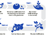 The blueberry breeding process