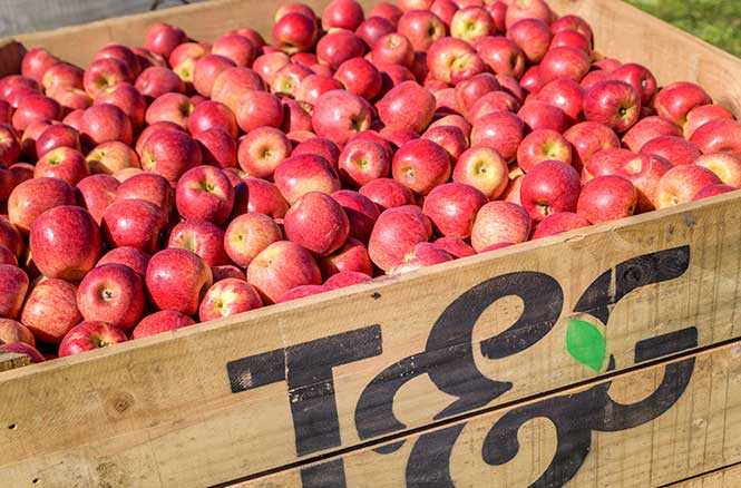 supply chain management of apple fruit