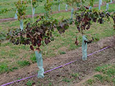 Protecting vines from grapevine leafroll