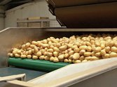 Breeding potatoes for industry