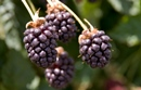 Boysenberries may be of benefit to asthma sufferers