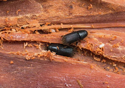 Success with sandwiches - the bark beetle breeding story