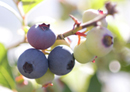 Maori team up with Crown to breed unique berries for global markets