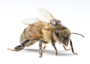 Protective covers reduce honey bee foraging and colony strength