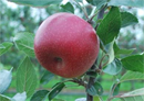 First apple to be launched from Hot Climate Programme